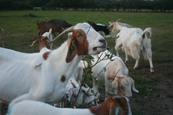Goats eating tree branches, Summer 2014